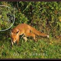 Le renard est le