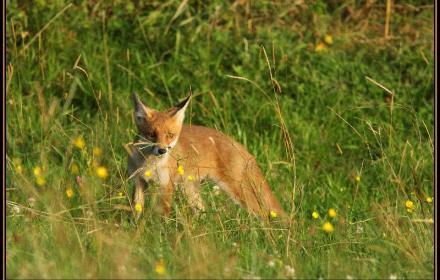 Les renards de nos campagnes sont porteurs du virus de la maladie de Carré